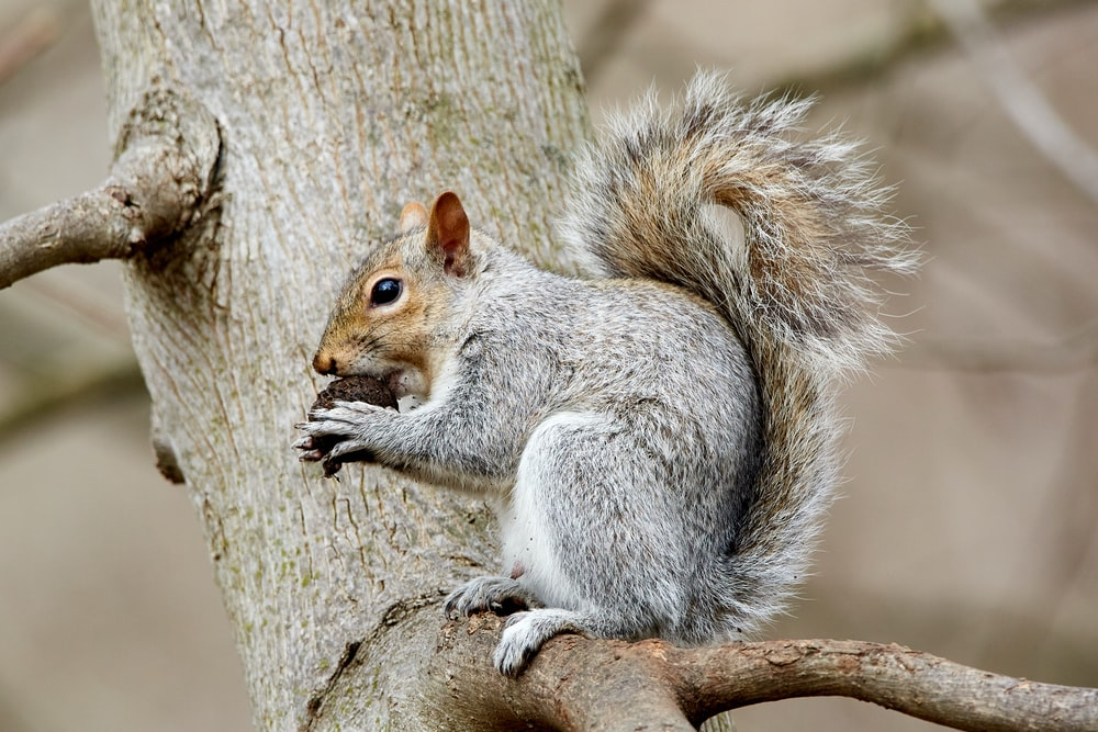 selective focus photography of squirrel eating walnut on tree brunbch