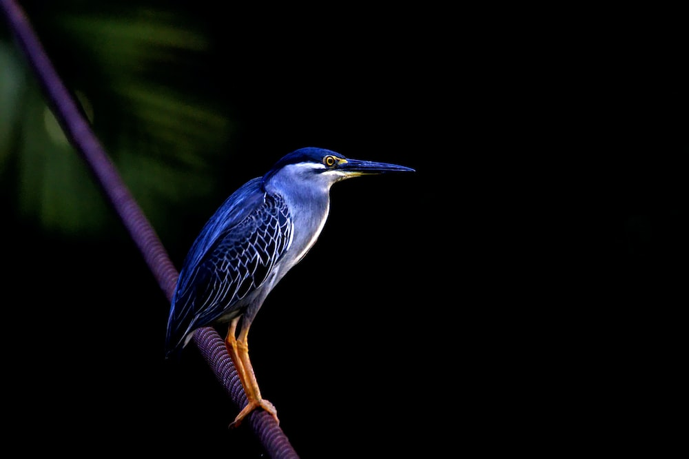 blue kingfisher on brown branch