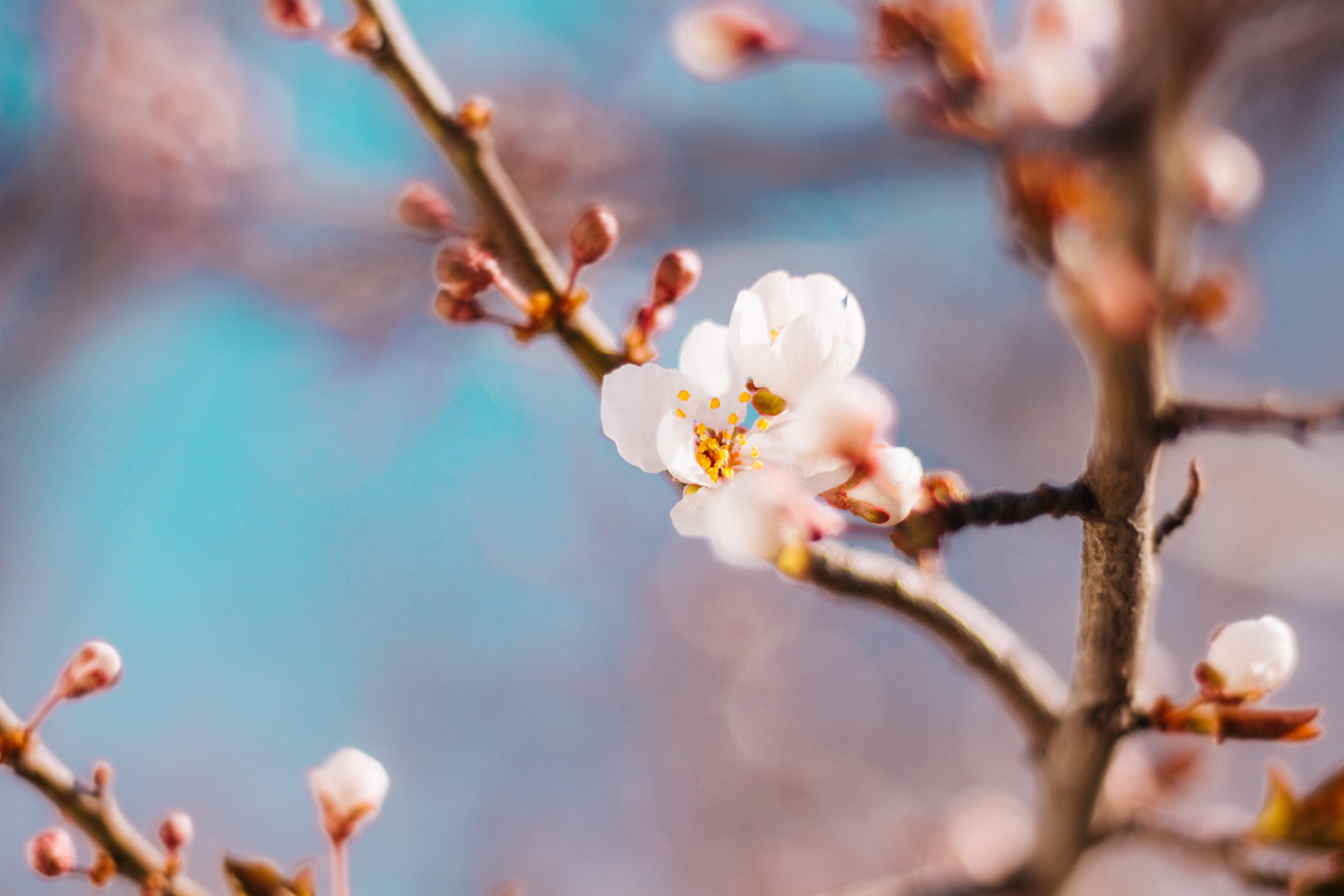 shallow shot of cherry blossom flower