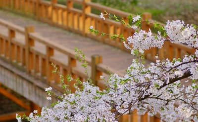 shallow focus photo of cherry blossoms sakura teams background
