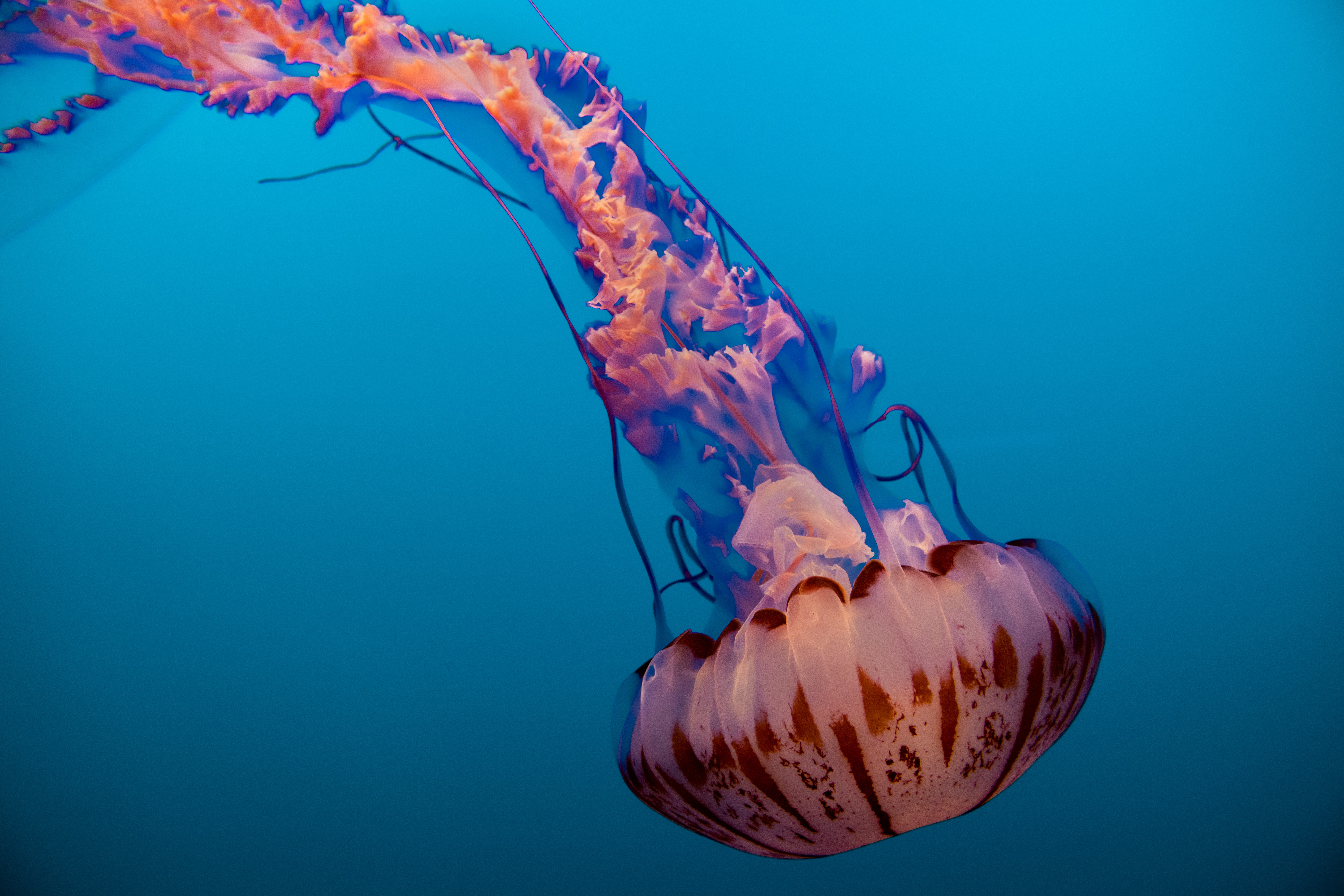 photo of brown and blue jellyfish