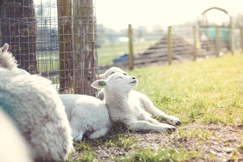white goat beside fence