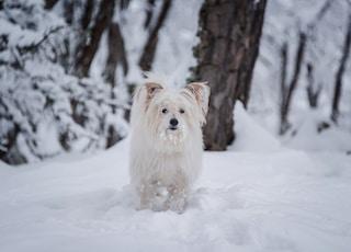 long-coated white dog walking on snow