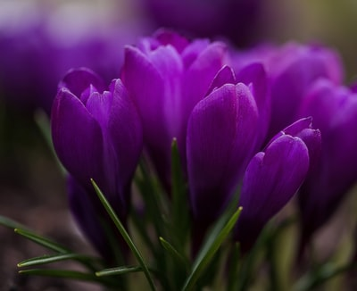 closeup photo of purple tulips