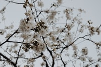 white flower tree