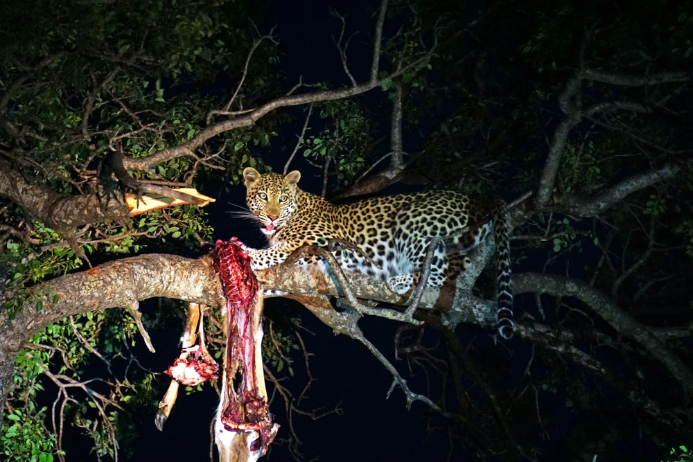 leopard eating on top of tree branch