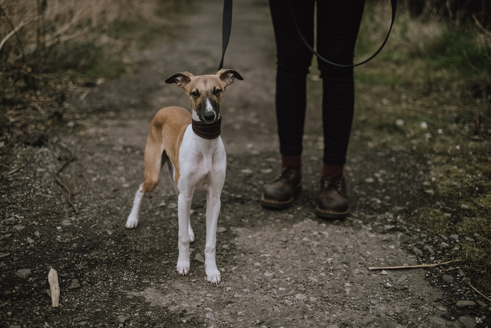 short-coatedwhite and brown dog beside person wearing black shoes