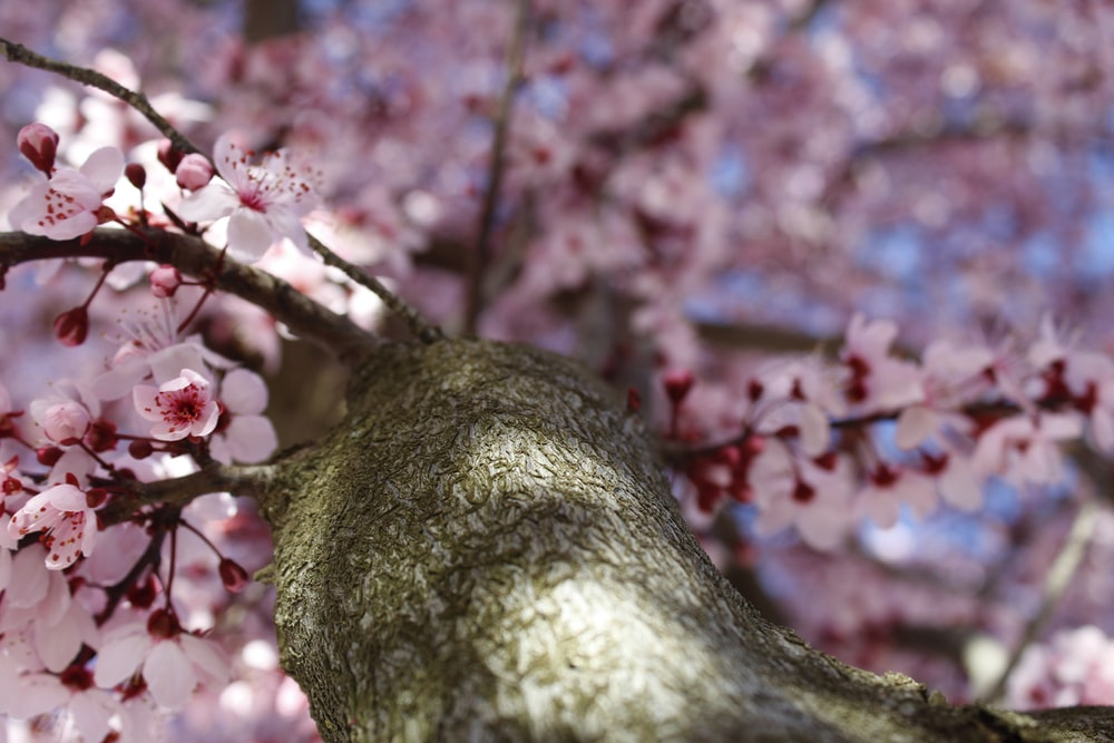 worm's-eye view of pink cherry blossoms