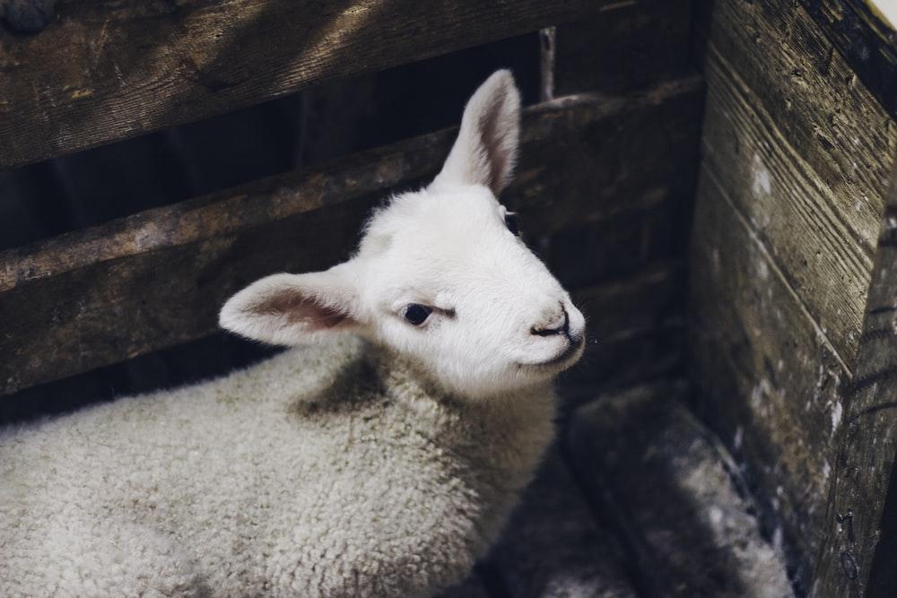 beige sheep inside cage