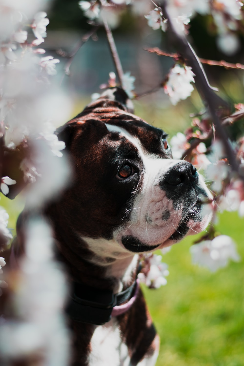 smooth brown and white boxer puppy in selective focus photography