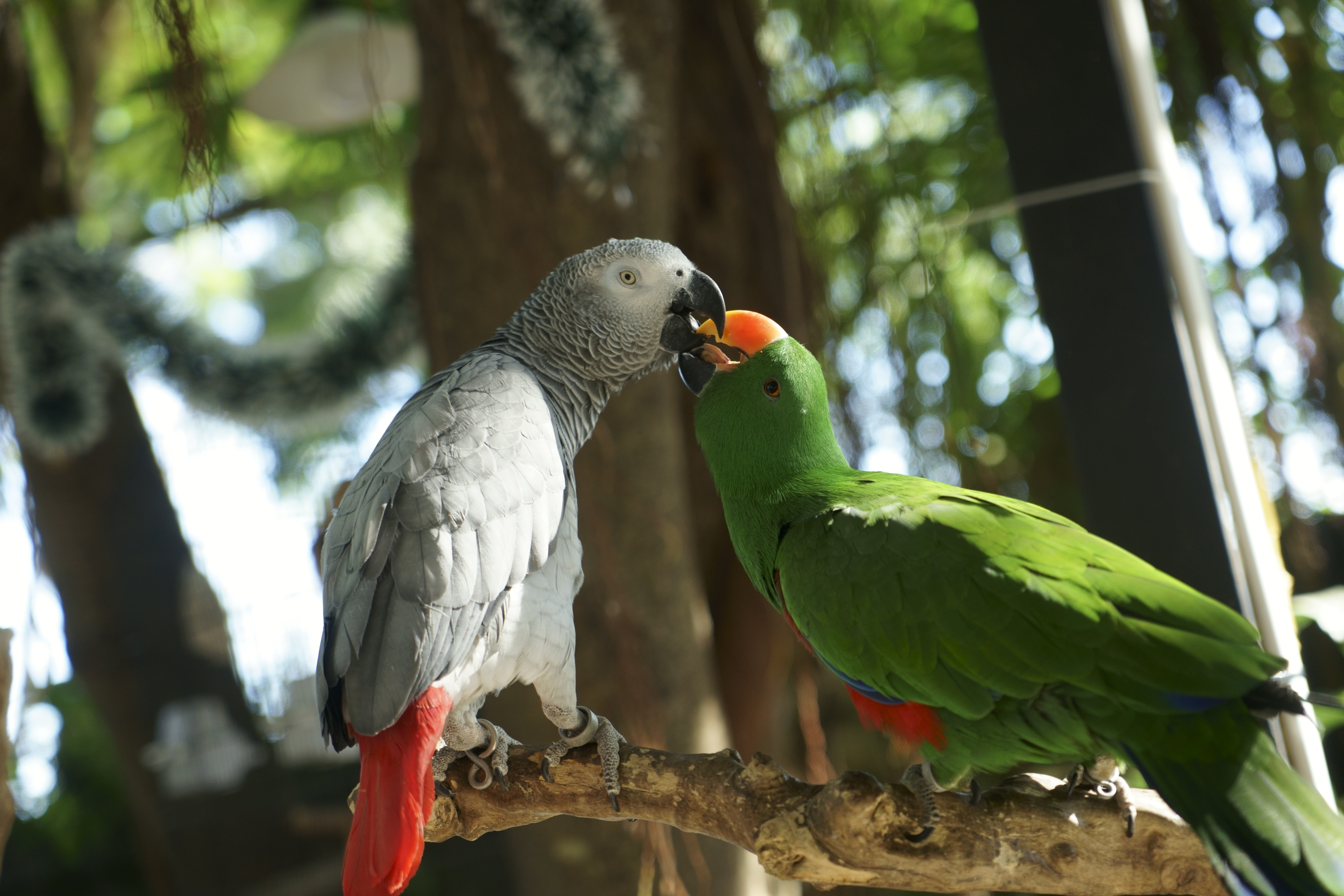 African Gray Parrot and green parrot
