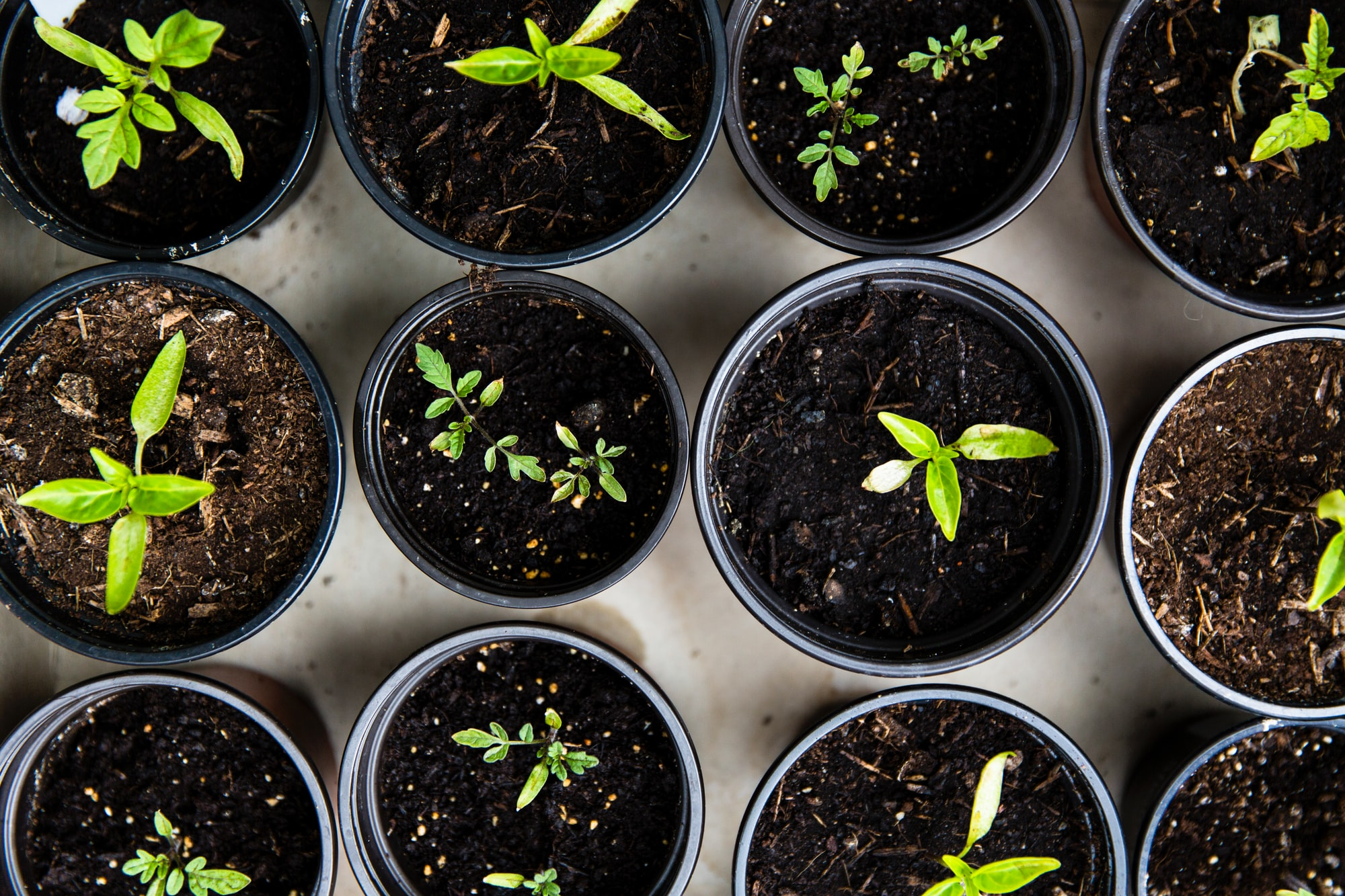 Urban Gardening – Raising tomatoes for self support
