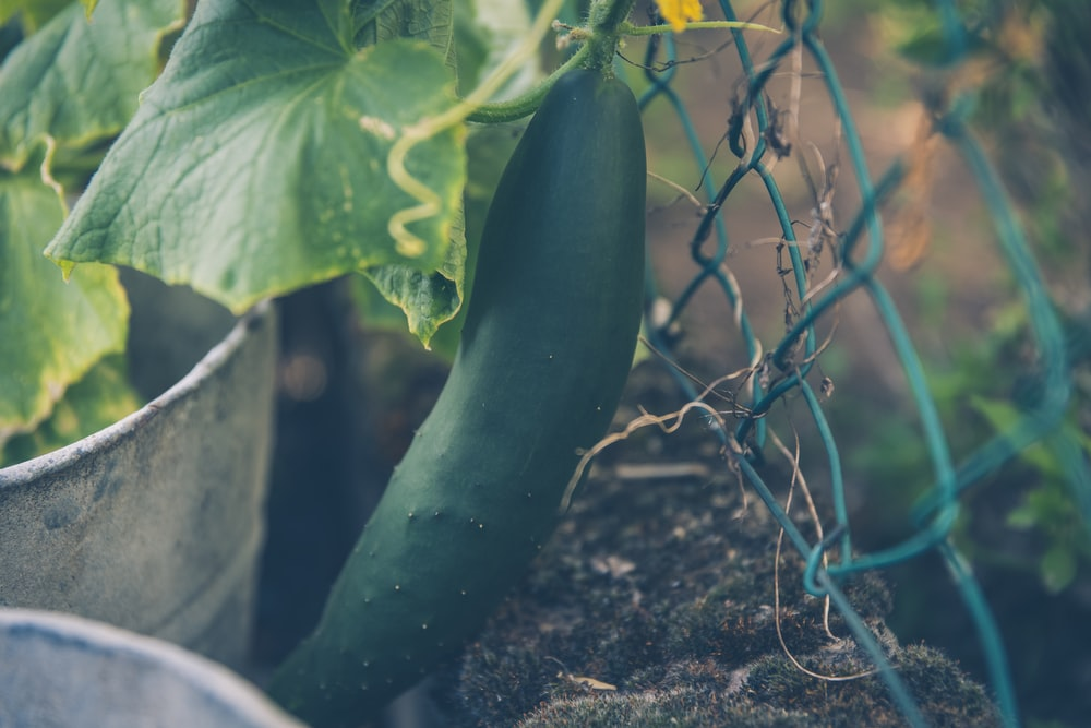 photo of cucumber