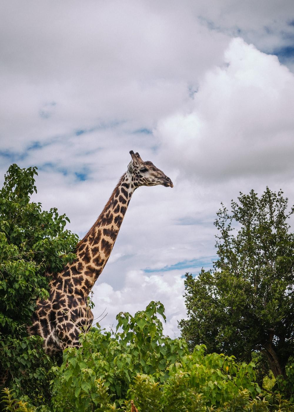 giraffe surround with trees