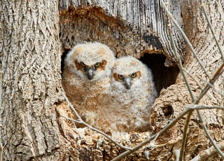 closeup photo of two brown owls in tree burrow