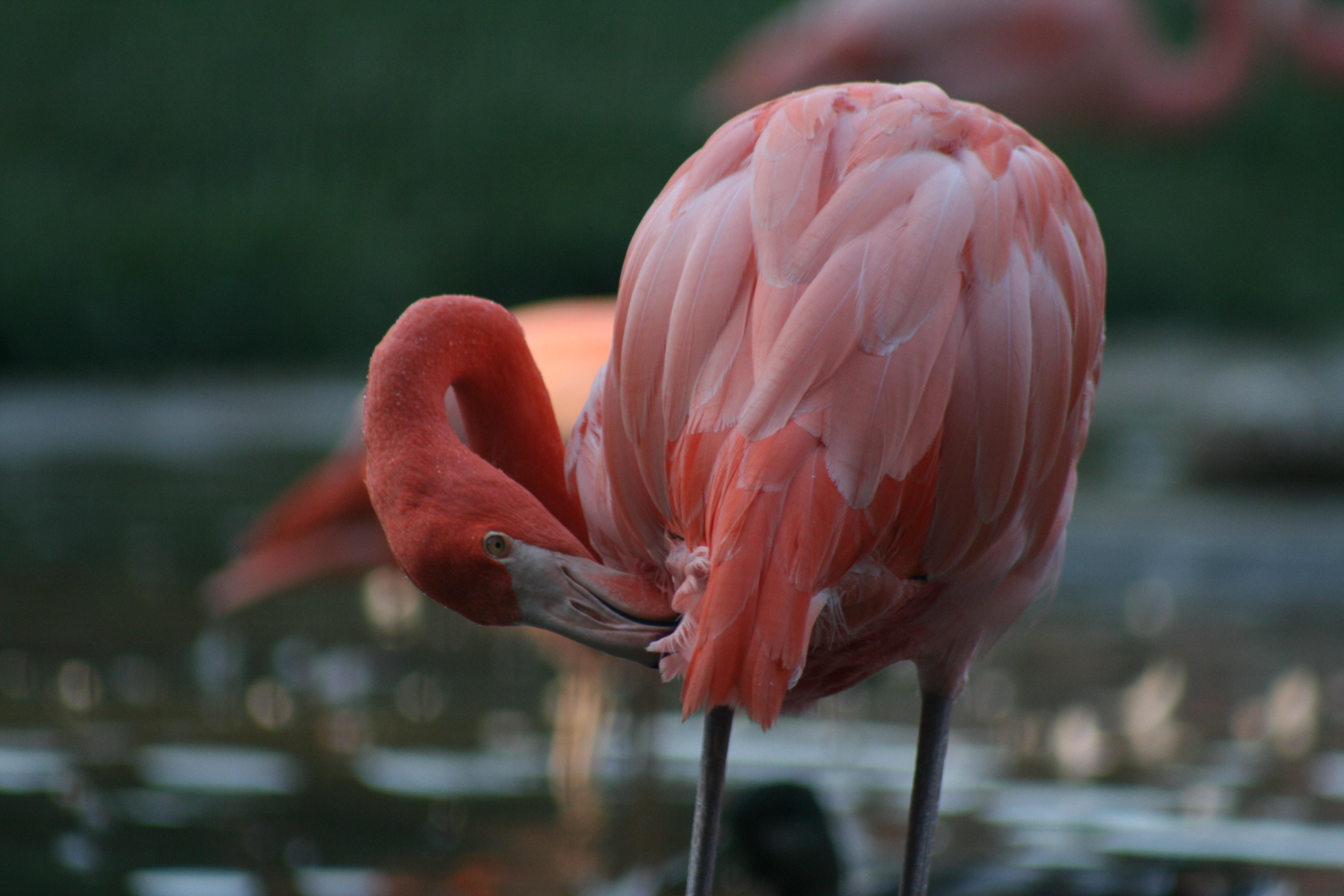 pink flamingo touching its own leg with beak