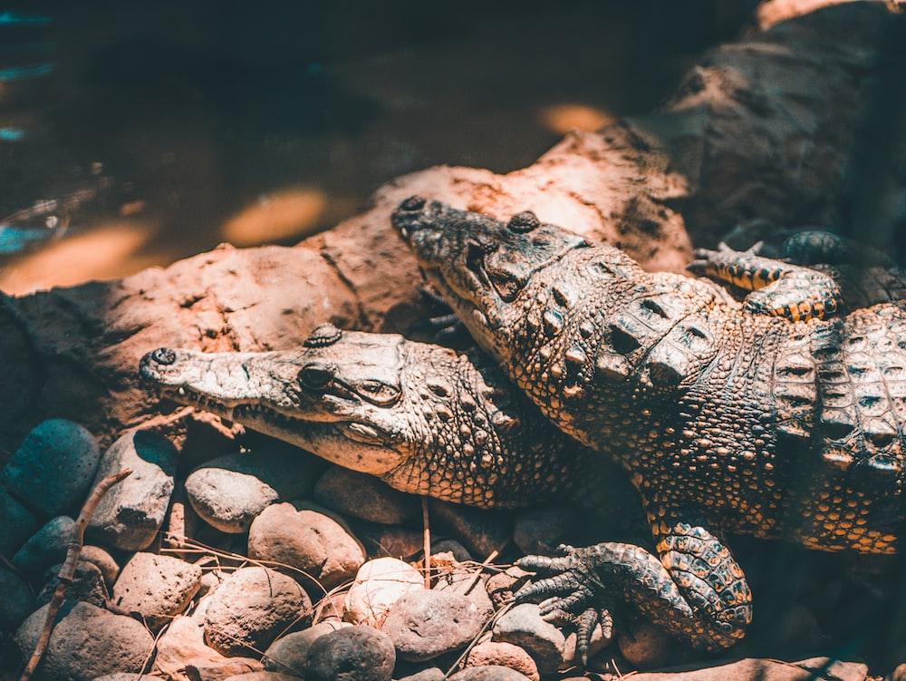 two black-and-gray crocodiles