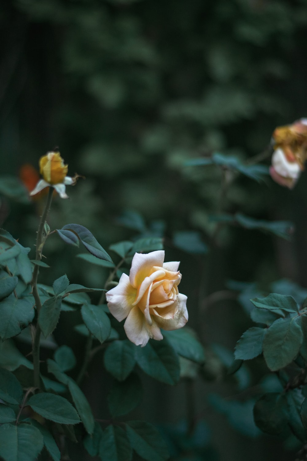 close up photography of brown rose flower