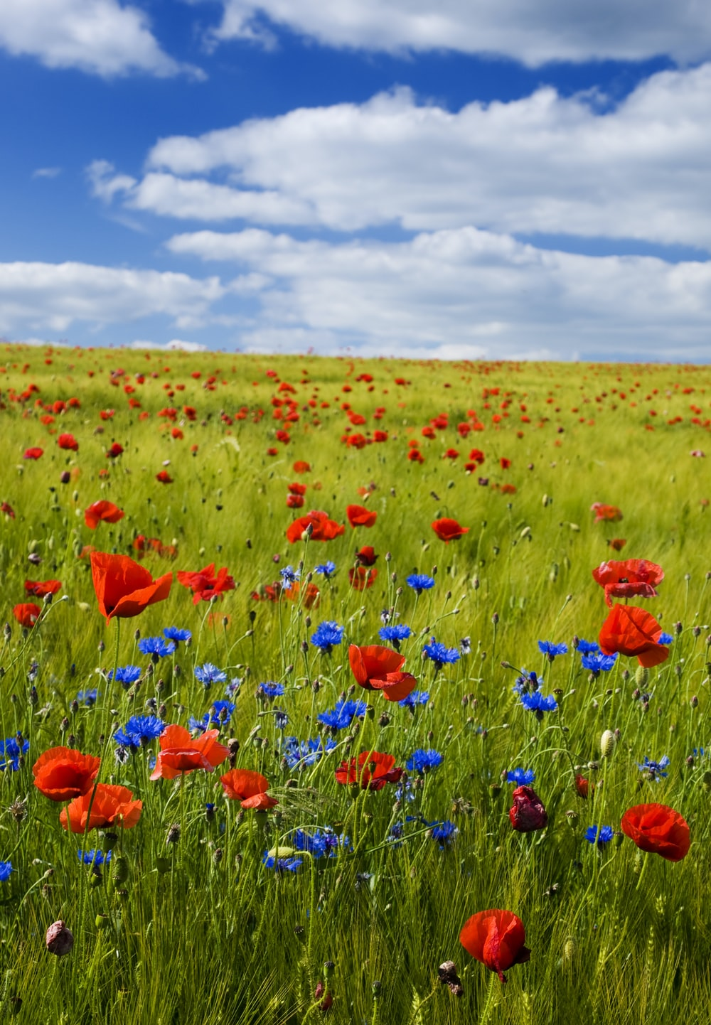 red flowers under the blue sky