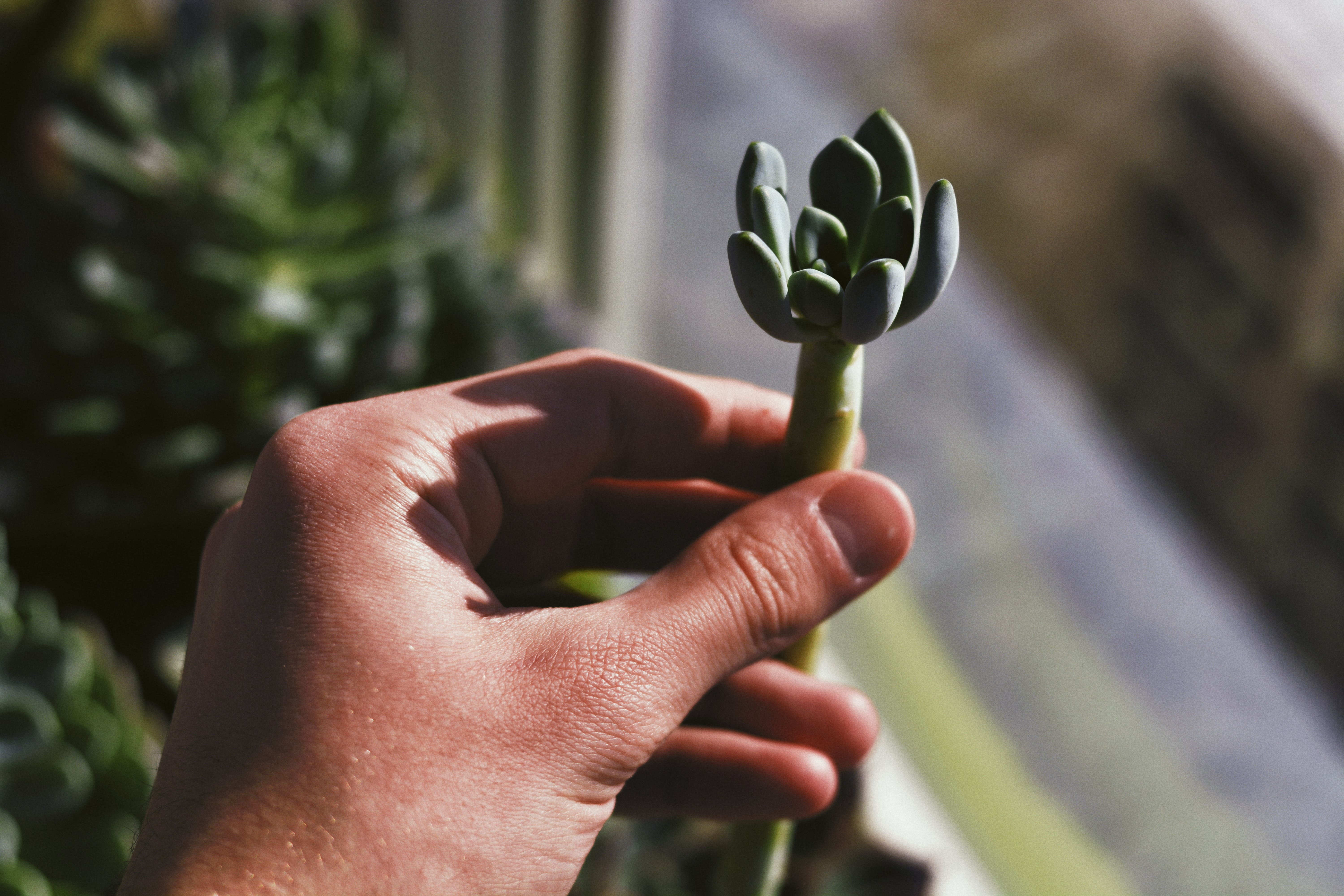 person hand holding succulent plant