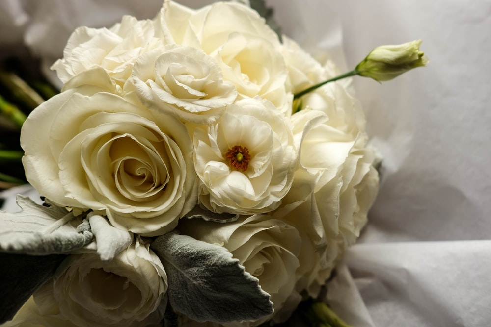 500 white rose pictures hd download free images on unsplash white rose pictures mightylinksfo