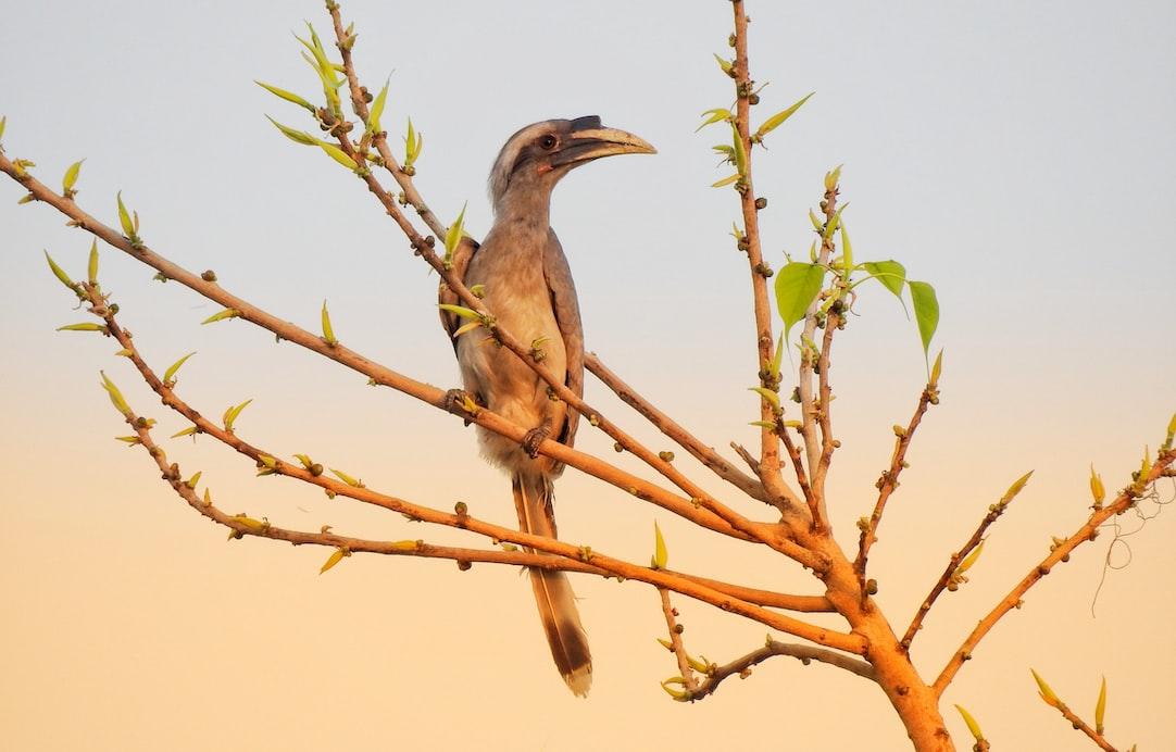 Lyrebirds