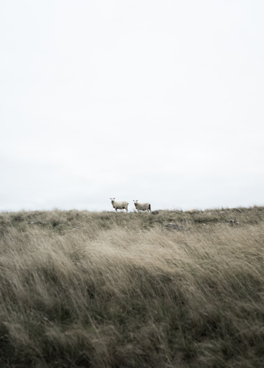 two white goats standing