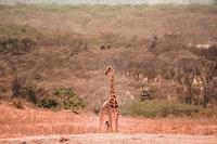 brown and black Giraffe on desert