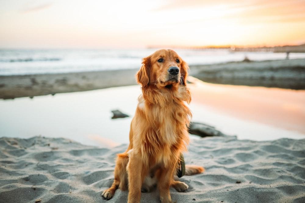 adult dog sitting on white sand near seashore