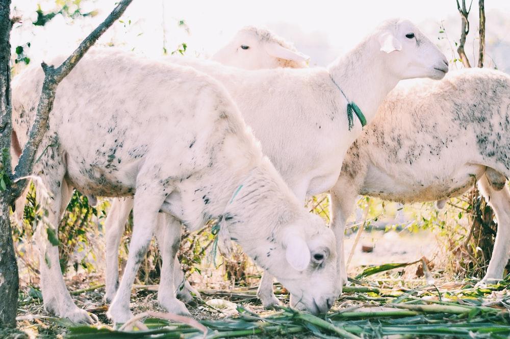 three white sheeps pasture in farm
