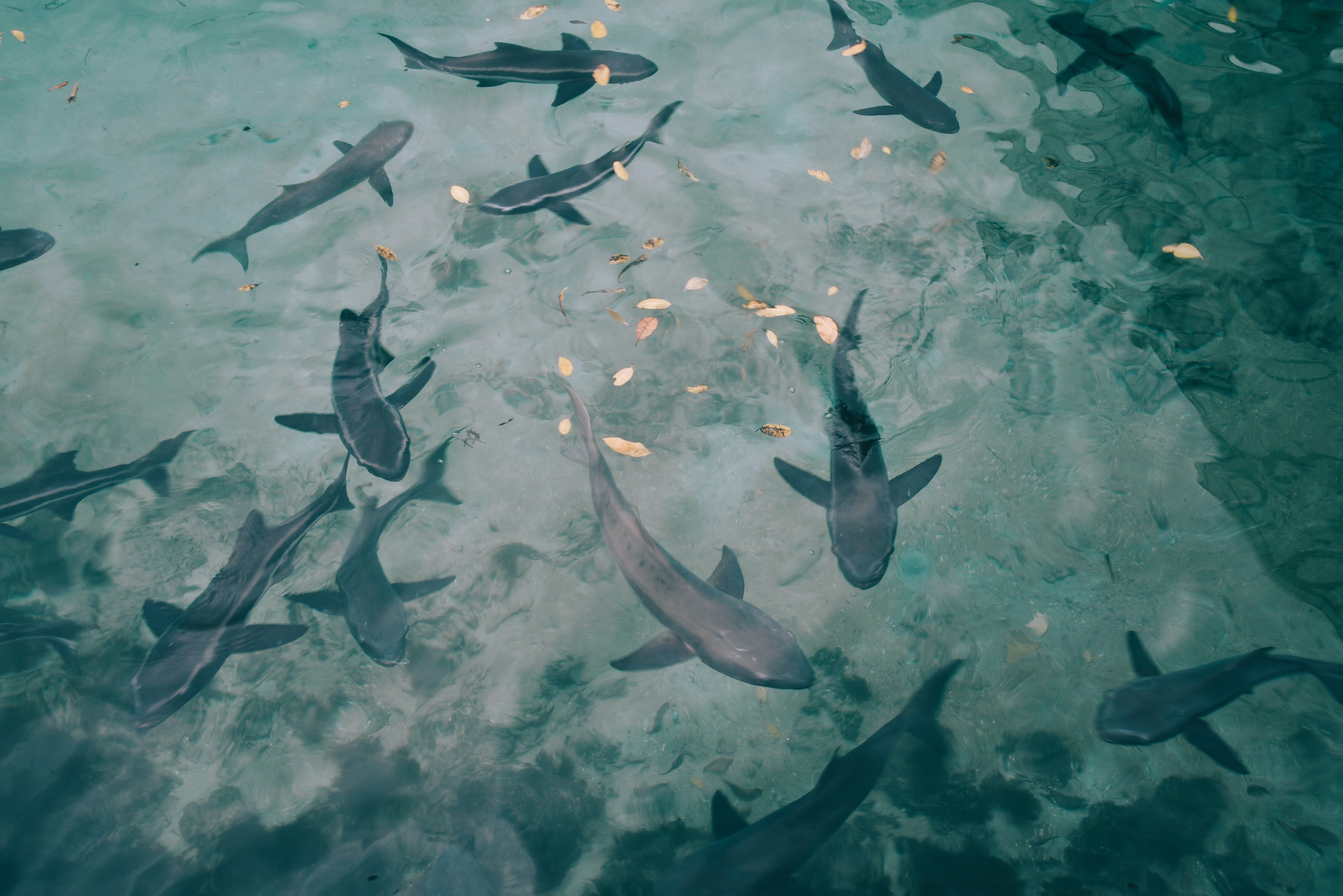 high-angle photo of shoal of sharks underwater