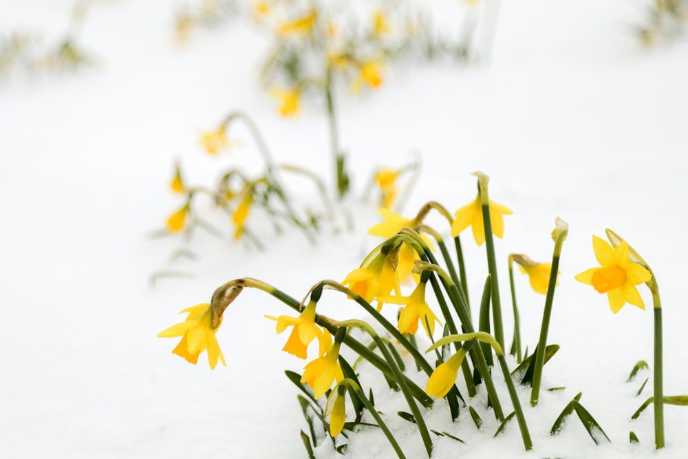 yellow daffodils covered in snow