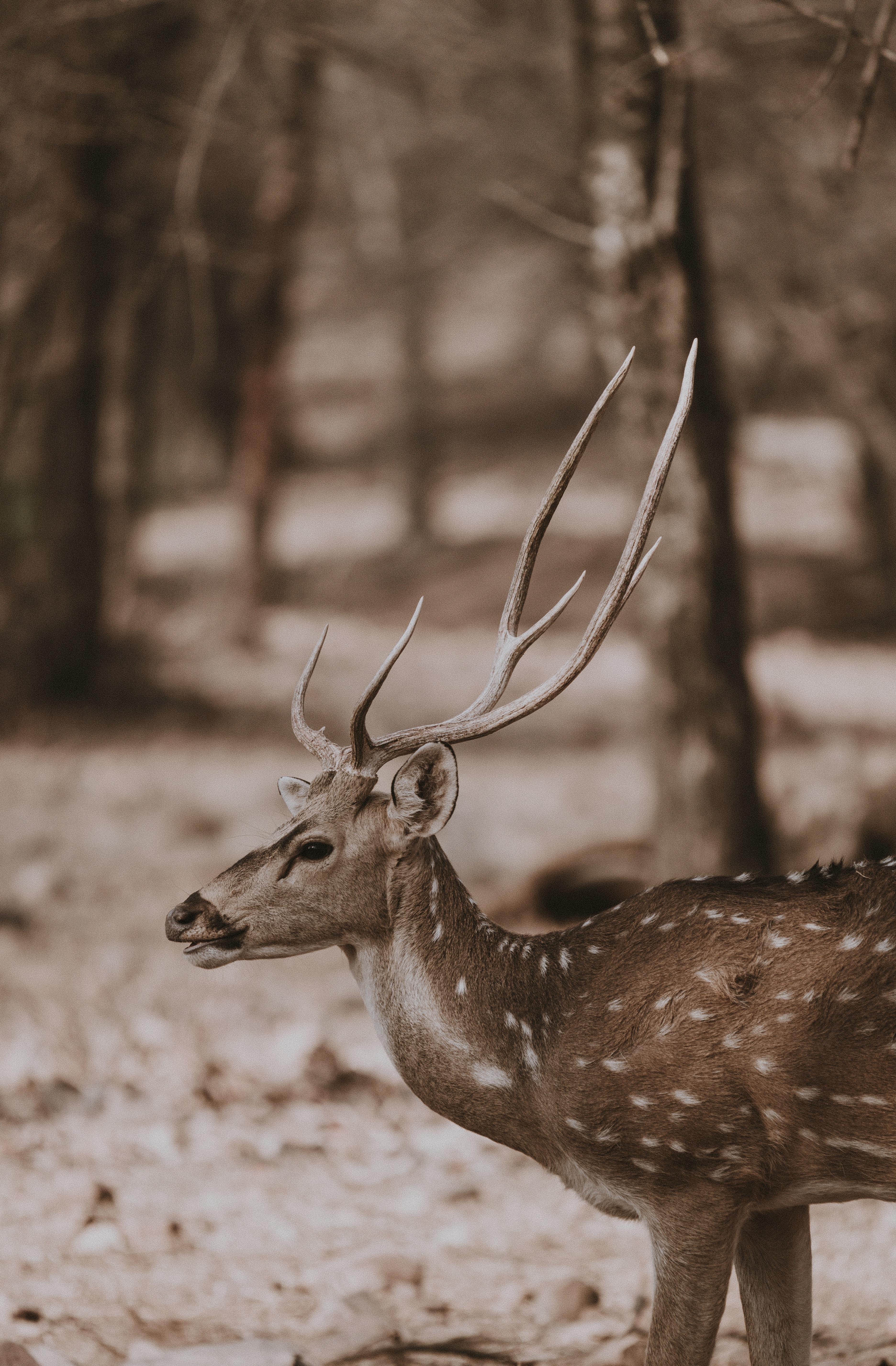 brown deer in the woods