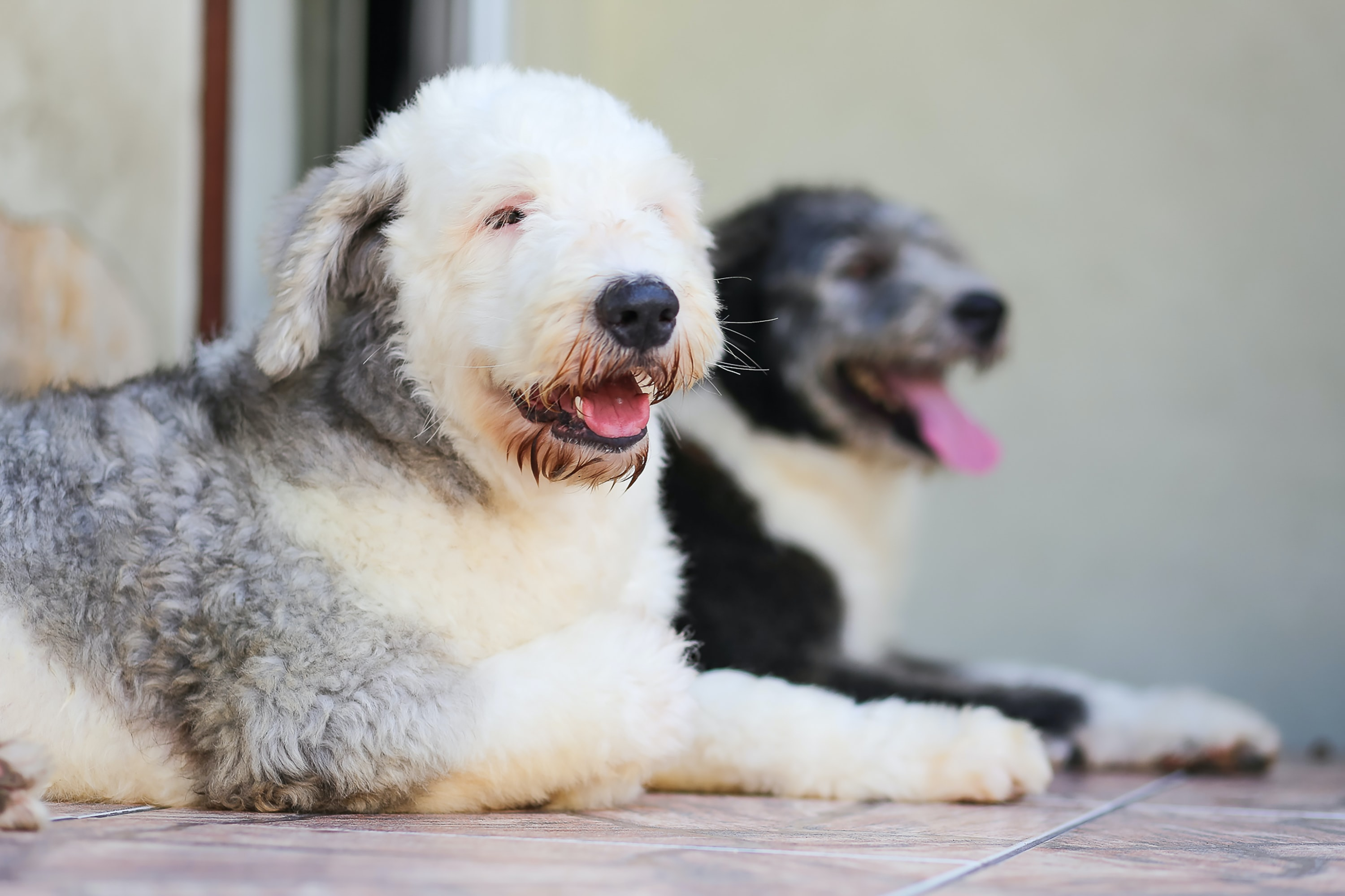 two short-coated white and black dogs