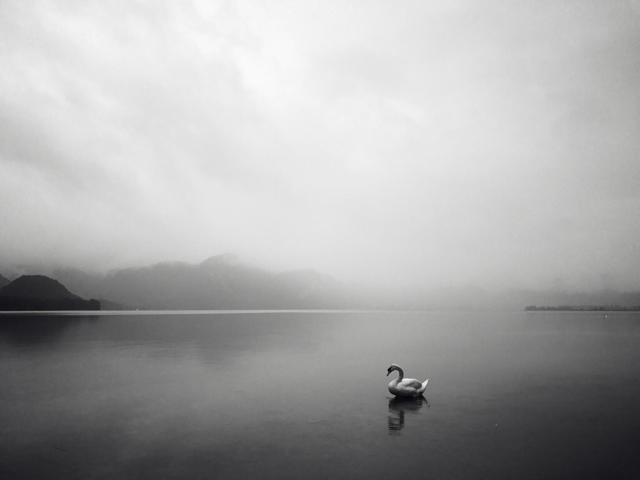 grayscale photo of swan on lake