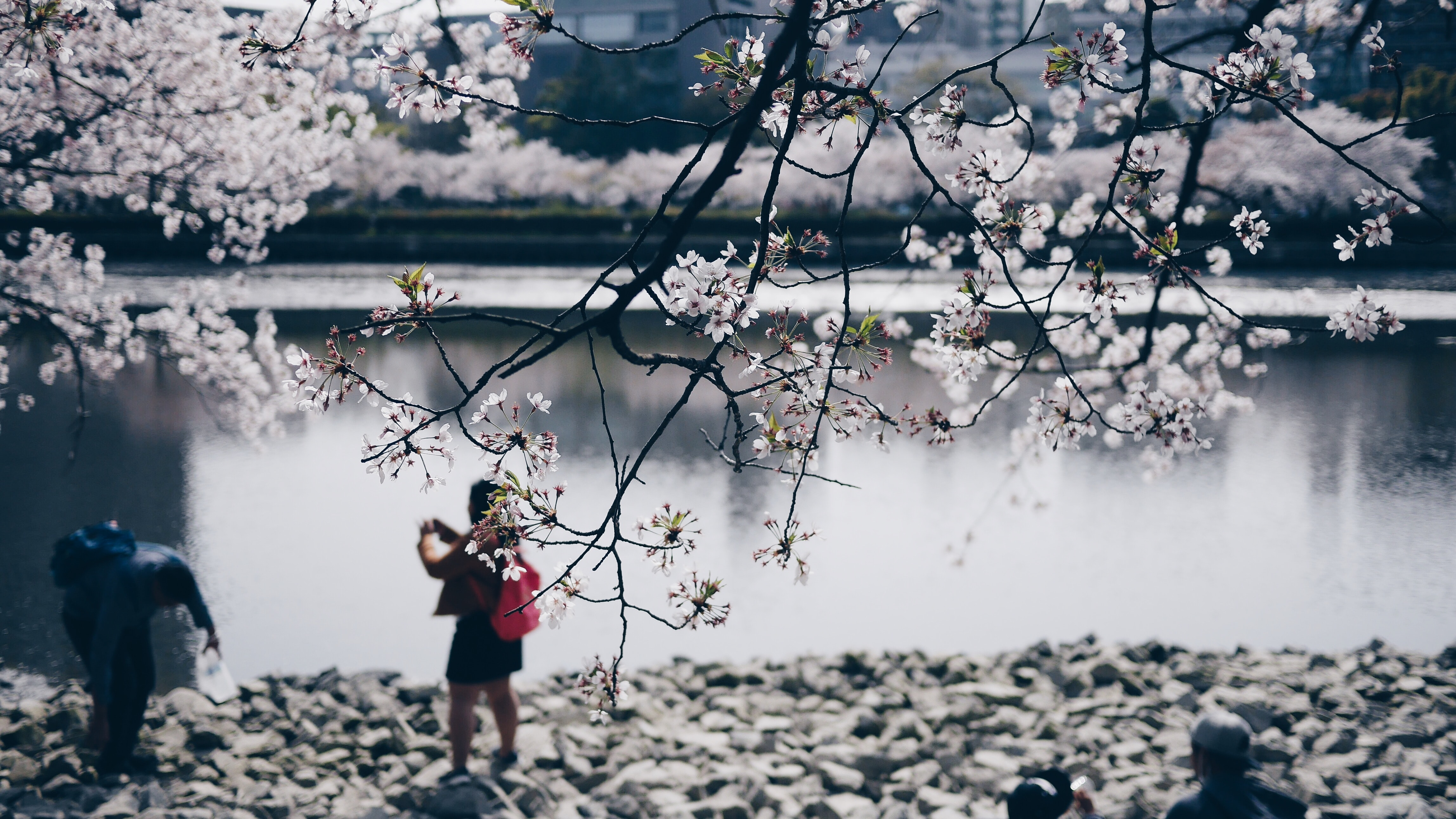 two woman and man standing beside cherry blossom