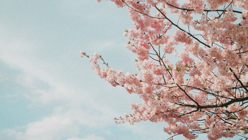 pink cherry blossoms during daytime
