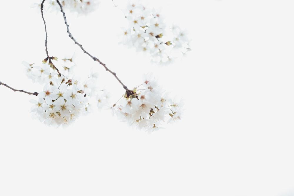 white petaled flowers on snow