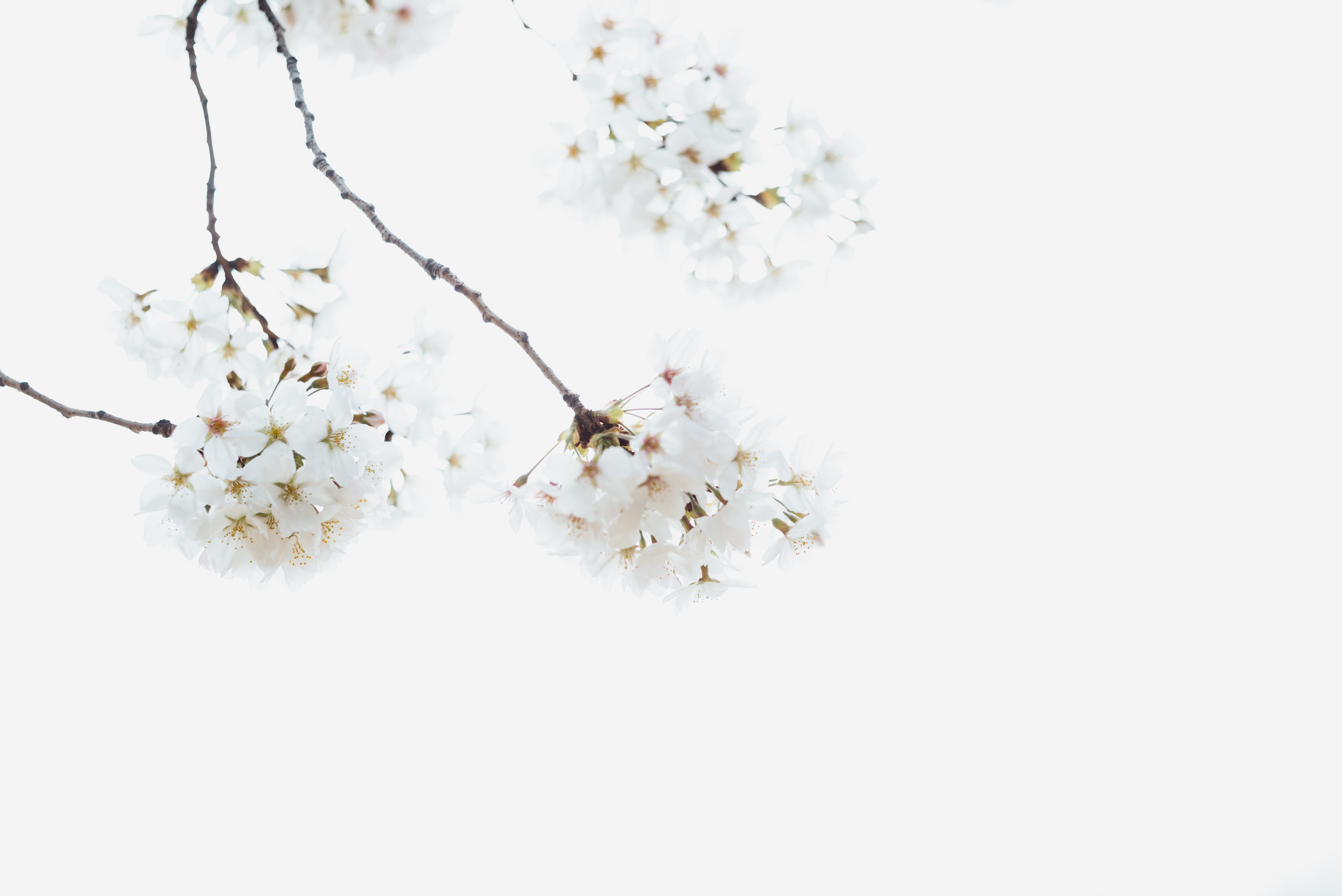 white petaled flowers on snow