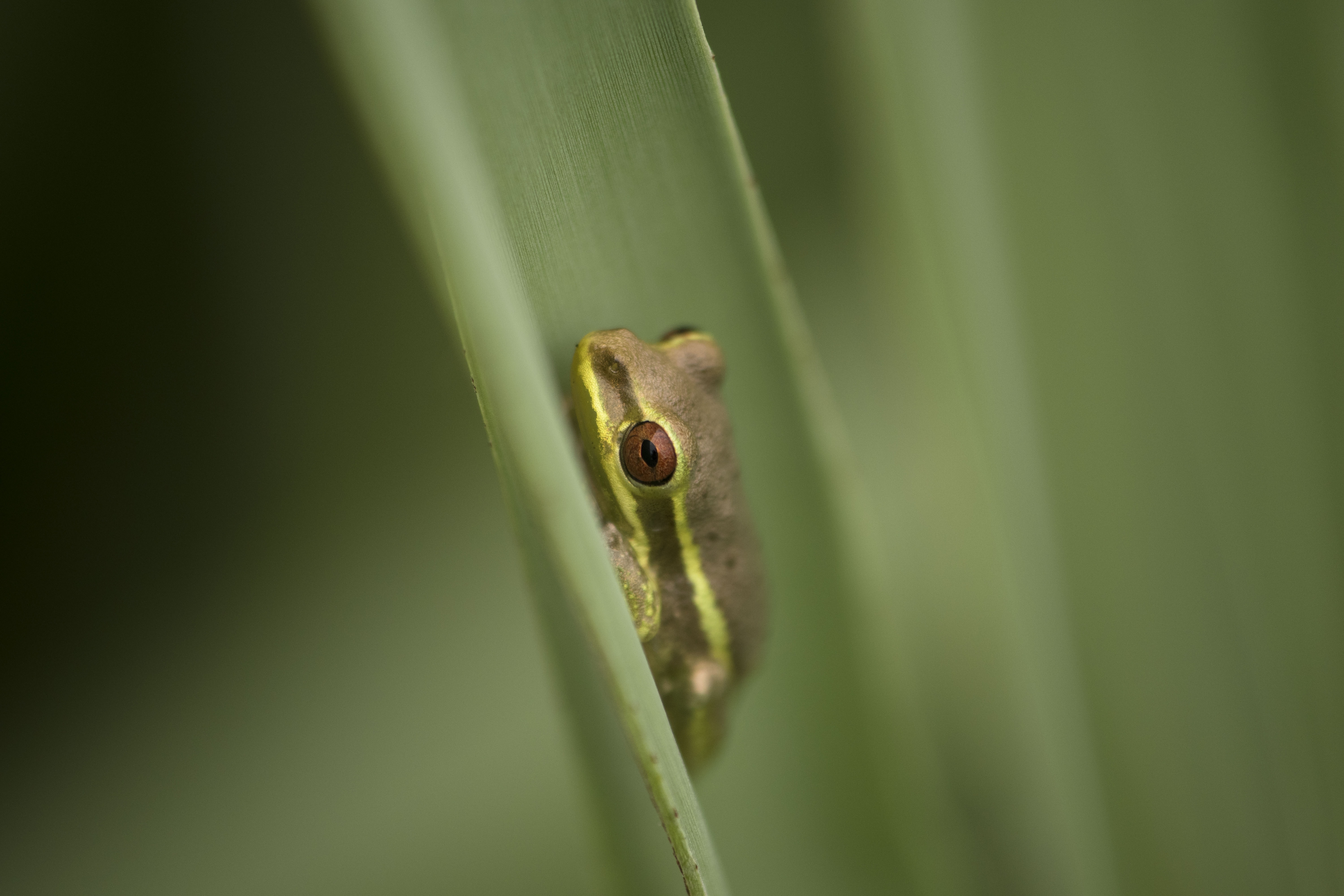 macro photography of green and gray frog