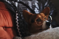 an and white dog wearing eyeglasses