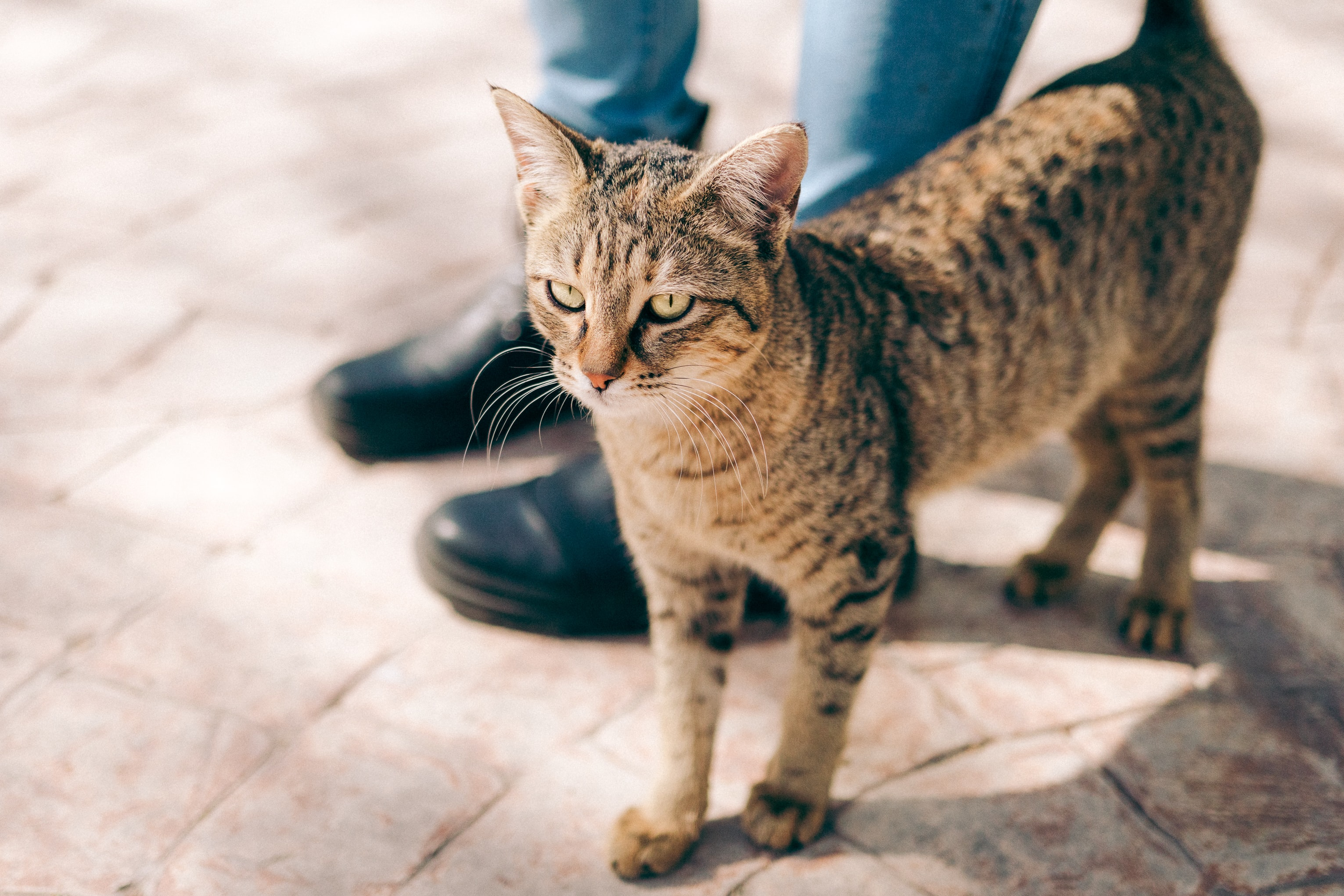 brown tabby cat standing beside person