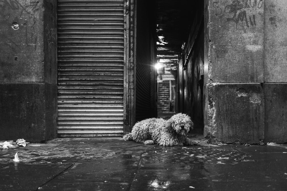 grayscale photo of a long-coated dog lying on the floor