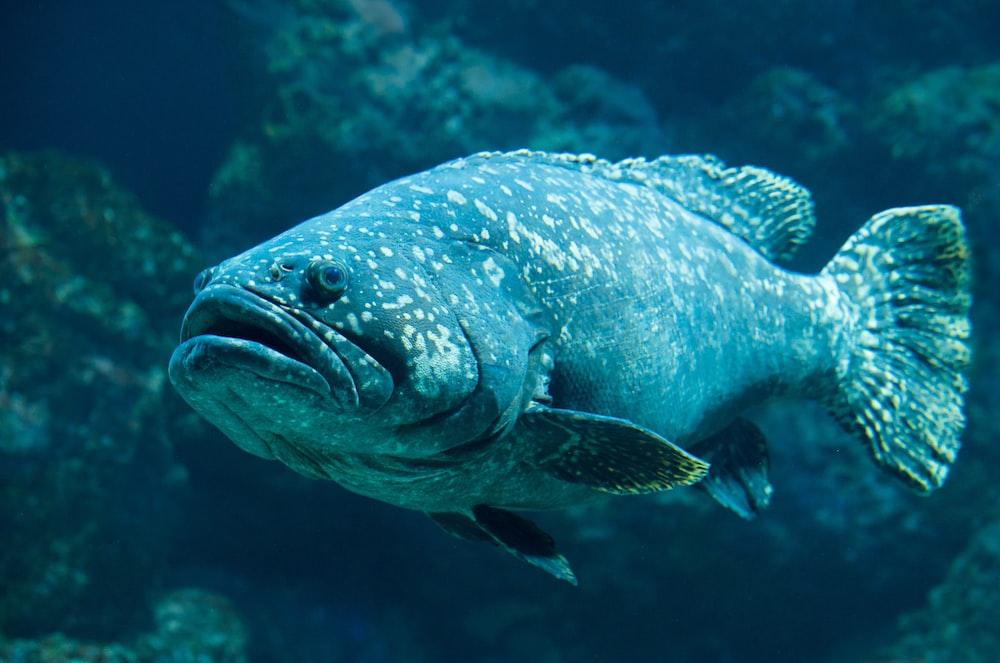 black fish swimming near corals