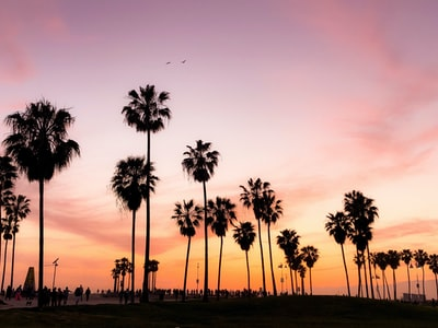 silhouette photo of coconut trees under pink and orange sky california teams background