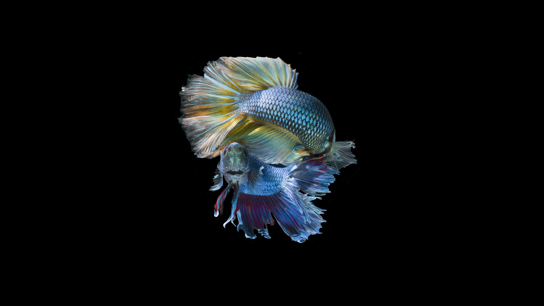 two blue betta fish