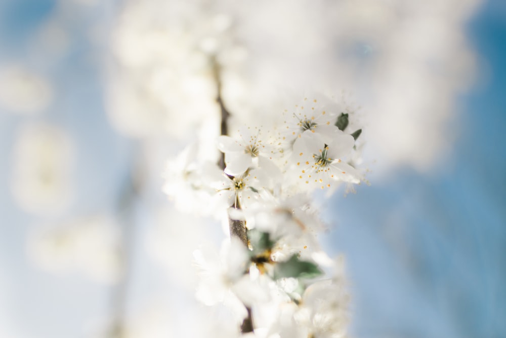 White blossom pictures download free images on unsplash selective focus photography white petaled flower mightylinksfo