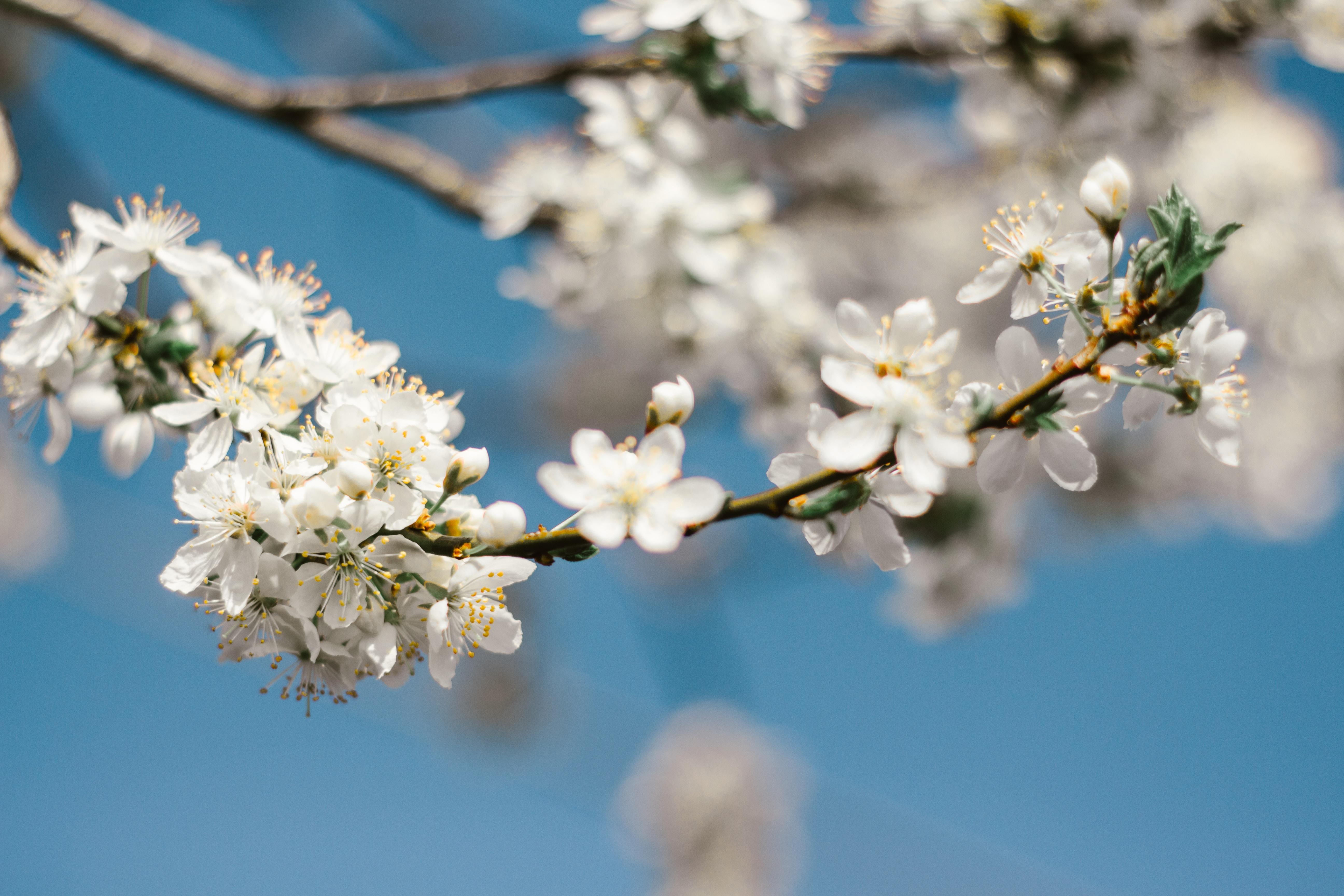 white flowering branch