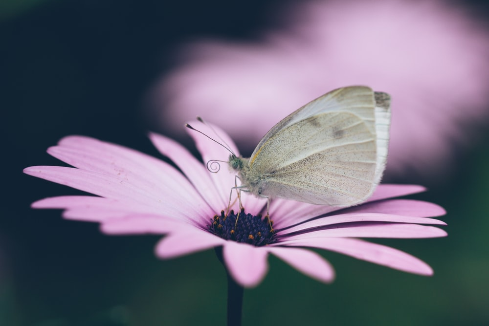 gray butterfly on pink flower