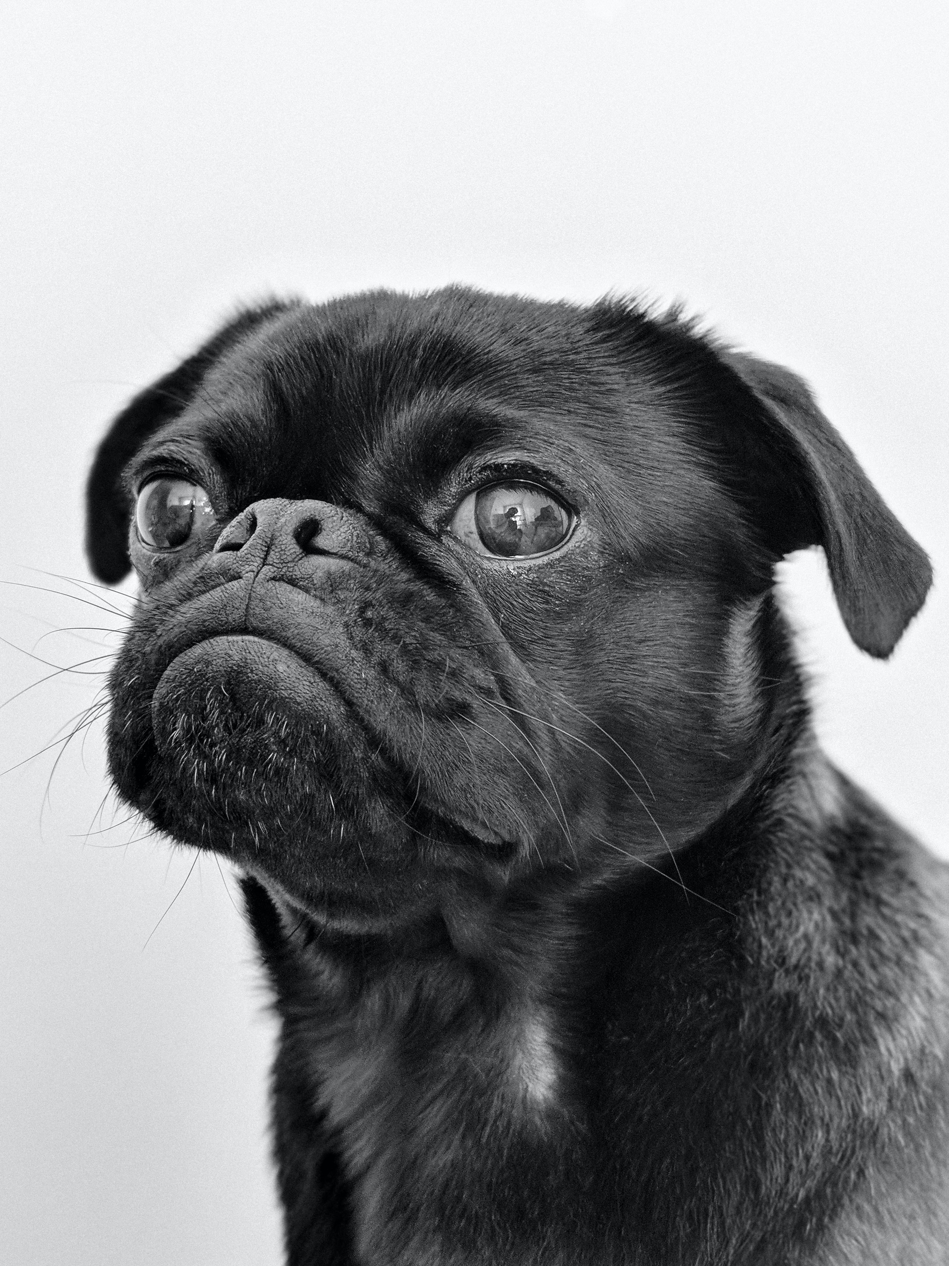 close-up photography of fawn pug